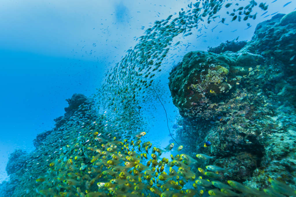 Ishigaki Island Diving - Horde of young fish