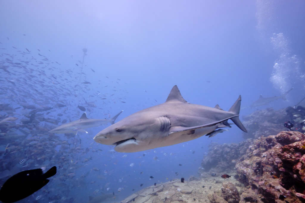 Large wild bull sharks swim around divers getting close to the camera and feeding. Large pregnant female sharks swim close to camera.