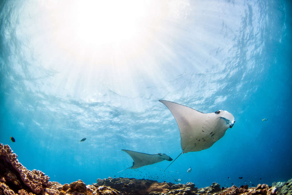 Two Manta's swimming along the reef from below with sun beams above in clear blue water.